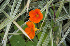 Nasturtiums in a garden Royalty Free Stock Photography