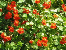 Nasturtiums.jpg Royalty Free Stock Photos