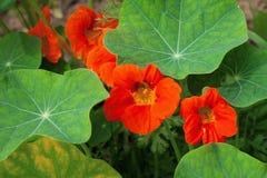 Nasturtiums orange colors Stock Images