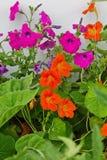 nasturtiums and petunias royalty free stock images