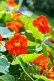 Nasturzio di fioritura nel giardino Immagine Stock Libera da Diritti