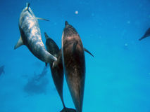 Nasty dolphins. A family of dolphins swimming Stock Images