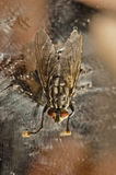 Nasty fly Royalty Free Stock Photography