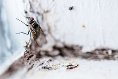 Nasty Housefly in a Window Royalty Free Stock Photo
