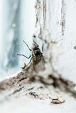 Nasty Housefly in a Window Royalty Free Stock Photos