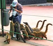 Nasua род внутри енотовые семьи, члены которых самые знаменитые еноты стоковая фотография