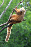 Nasua coati. On tree branch Stock Photography
