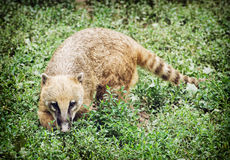 Nasua (coati Anillo-atado) que oculta en la vegetación verde Foto de archivo libre de regalías