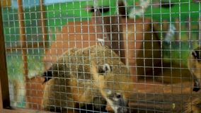 Nasua Coati in the cage at the eco park
