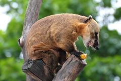 Nasua coati eating banana Royalty Free Stock Photos