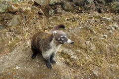Nasua the mammal in Mexico. Nasua is a genus within the family Procyonidae, whose best-known members are raccoons Stock Photo