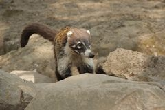 Nasua the mammal in Mexico. Nasua is a genus within the family Procyonidae, whose best-known members are raccoons Royalty Free Stock Photos