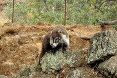 Nasua the mammal in Mexico. Nasua is a genus within the family Procyonidae, whose best-known members are raccoons Stock Images