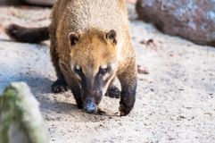Nasua going for its food on sand, sniffing around, at the zoological park stock photography