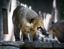 Nasua portrait - Ring-tailed coati Royalty Free Stock Photos