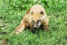 Nasua - Ring-tailed coati - in the green vegetation Royalty Free Stock Photo