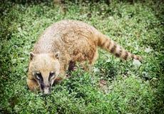 Nasua (Ring-tailed coati) hiding in the green vegetation Royalty Free Stock Photo