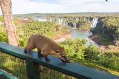 Nasua sauvage de coati posant du côté brésilien du parc national des chutes d'Iguaçu Côté argentin des chutes d'Iguaçu à l'arrièr image libre de droits
