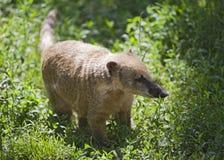 Nasua in a zoo Stock Photo