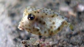Nasus di Rhynchostracion o ostraciidae di Shortnose (giovanili) Fotografia Stock