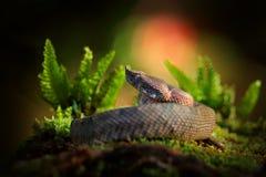 Nasutum de Porthidium, floresta ?mida Hognosed Pitviper, serpente marrom do veneno do perigo na vegeta??o de floresta R?ptil da f fotografia de stock royalty free