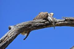 Nasutus grigio di Tockus del bucero nella biosfera Namibia di Waterberg immagini stock libere da diritti