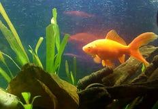 nasz goldfish Pośpieszny Fotografia Royalty Free