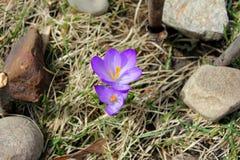 Nasz jedyny dwa purpur krokus ten wiosna Fotografia Stock