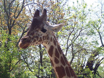 Nasz przyjaciel żyrafa Zdjęcie Stock