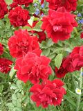 Nasz Różowy dywan wzrastał kwiaty Fotografia Royalty Free