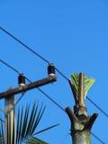 Naszywanej palmy lub kokosowego drzewa próba ximpx pod wysokiego woltażu elektrycznymi liniami Zdjęcia Stock
