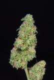 Naszywani marihuana pączki & x28; zielony krekingowy marihuany strain& x29; - Zdjęcie Stock