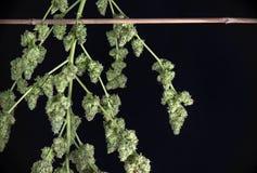 Naszywani marihuana pączki & x28; zielony krekingowy marihuany strain& x29; - Fotografia Stock