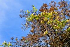 Natürliche Abweichung Kastanienblüte auf Herbst Lizenzfreie Stockbilder