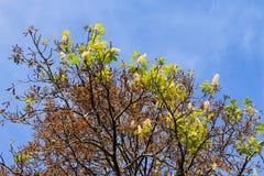 Natürliche Abweichung Kastanienblüte auf Herbst Lizenzfreie Stockfotos