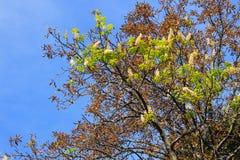 Natürliche Abweichung Kastanienblüte auf Herbst Stockbilder