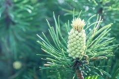 Natürliche Ansicht des grünen Kiefernkegels, der im Wald unter natürlichem Sonnenlicht am sonnigen Sommer- oder Frühlingstag hera Stockbilder