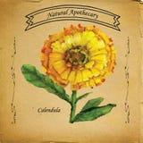 Natürliche Apotheker Calendula-Ringelblume Stockbilder
