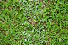 Natürliche asiatische Nahaufnahme des grünen Grases morgens lizenzfreies stockfoto