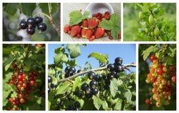 Natürliche Beeren der Collage auf Niederlassung im Garten Stockfoto