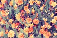 Natürliche Begonienblume Stockbilder