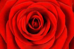 Natürliche Beschaffenheit einer roten Rosennahaufnahme Lizenzfreies Stockfoto