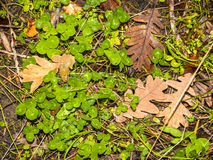 Natürliche Beschaffenheit von Klee- und Eichenblättern Stockbilder