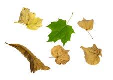 Natürliche Blätter des Ahorns und der Linde Lizenzfreie Stockfotos