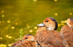Natürliche Brown-Ente nahe dem Teich Stockfotografie