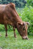 Natürliche einziehende braune Kuh auf einem grünen Gras der Sommerweide Lizenzfreies Stockfoto