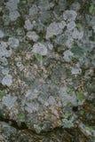 Natürliche Flechte und Mooshintergrund und -beschaffenheit Alte graue Wand bedeckt mit Flechte und Moos Organische Beschaffenheit Stockfotos