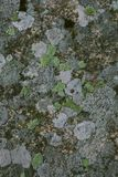 Natürliche Flechte und Mooshintergrund und -beschaffenheit Alte graue Wand bedeckt mit Flechte und Moos Organische Beschaffenheit Lizenzfreie Stockfotos