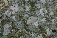 Natürliche Flechte und Mooshintergrund und -beschaffenheit Alte graue Wand bedeckt mit Flechte und Moos Organische Beschaffenheit Stockfoto