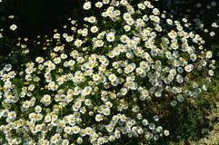 Natürliche Gänseblümchen, Gänseblümchen, Hunderte von den Gänseblümchen, weiße Gänseblümchen Stockfoto